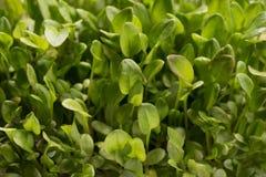 Green watercress microplants closeup Royalty Free Stock Photos
