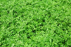 Green watercress plants on field Stock Images