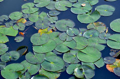 Green waterlily leaves on still water. Green, round waterlily pads (leaves) floating on still blue water Stock Photo