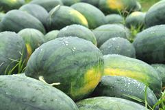 Green Watermelon Farm Group Royalty Free Stock Photography