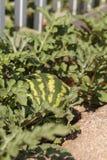 Green watermelon grows in a garden Stock Image