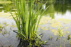 Green Waterplant Royalty Free Stock Photography