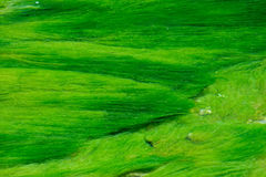 Green waterweeds. The green waterweeds are floating in clear stream Royalty Free Stock Images