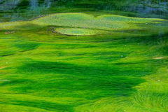 Green waterweeds. The green waterweeds are floating in clear stream Stock Photos