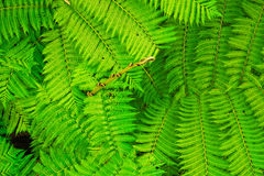 Green Wave. Leafs of ferns cover the whole picture, give you a strong image of color GREEN Stock Photography