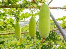 Green wax gourd on field Stock Photo