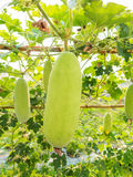 Green wax gourd on field Stock Photography