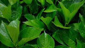 Green waxy leaves background, natural texture of large leaf foliage stock images