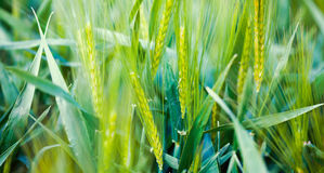 Green weed field close up Royalty Free Stock Photos