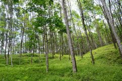 Green weed field and rubber trees on the hill. Green weed and grass field and high rubber trees on the hill in the south of Thailand stock photography