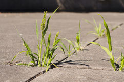Green weeds growing through cracks in concrete sidewalk in sunli Royalty Free Stock Photos