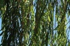 Green weeping willow branches with blue background. Blue sky peeking through the green weeping willow branches Royalty Free Stock Photos