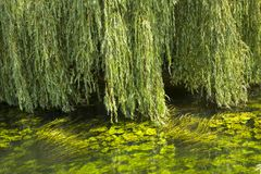 Weeping willow green. Green Weeping Willow branches hang down over the water full of floating light-green water plants stock photos