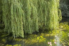 Weeping willow green. Green Weeping Willow branches hang down over the water full of floating light-green water plants stock image