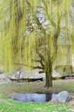 Weeping Willow Tree. Green Weeping Willow Tree in the Spring royalty free stock image