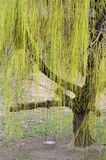 Weeping Willow Tree. Green Weeping Willow Tree in the Spring stock images