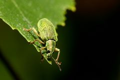 Green weevil Royalty Free Stock Photography