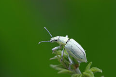 Green weevil Stock Photos