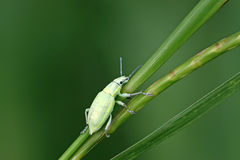 Green weevil Stock Images