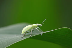 Green weevil Royalty Free Stock Image