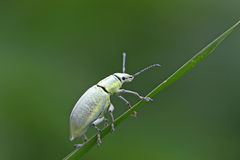 Green weevil Royalty Free Stock Images