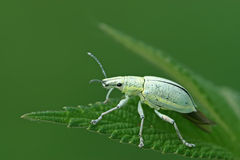 Green weevil Stock Photo