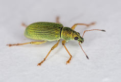 Green Weevil Royalty Free Stock Photo