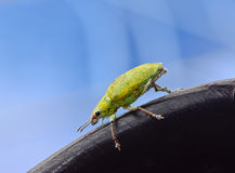 Green weevil hanging on black rubber  with blue blackground Stock Image
