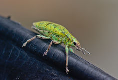 Green weevil hanging on black rubber Royalty Free Stock Photo