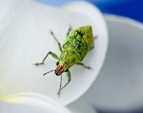 Green weevil hanging on white petal with blur blackground Stock Photo