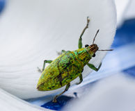 Green weevil hanging on white petal lackground Royalty Free Stock Image