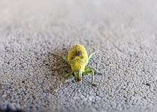 Green Weevil pest small insect Stock Photo
