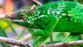 West Usambara two-horned chameleon or West Usambara blade-horned chameleon on stem of branch. Green west Usambara two-horned chameleon or West Usambara Blade royalty free stock photography