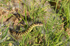 Green or Western whip snake (Hierophis viridiflavus) Stock Images