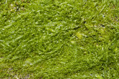 Green wet algae Cystoseira Royalty Free Stock Image
