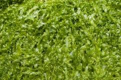 Green wet algae Cystoseira Royalty Free Stock Photo