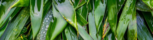Green and wet bamboo leaves in macro closeup, natural relaxing background, nature pattern backgrounds. Many green and wet bamboo leaves in macro closeup, natural royalty free stock images