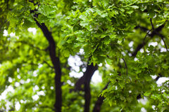 Green wet branches of the oak tree after the rain Royalty Free Stock Images