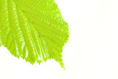 Green wet and bright leaf Stock Photography