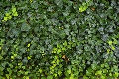 Green wet carpet. Dense hedera carpet after rain Stock Images