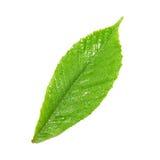 Green wet chestnut leaf. Green wet chestnut leaf isolated on white background Royalty Free Stock Image