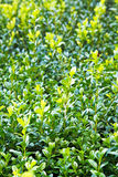 Green wet foliage of buxus Royalty Free Stock Images