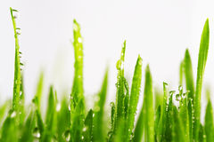 Green wet grass with dew on a blades isolated. Green wet grass with dew on a blades. Shallow DOF Royalty Free Stock Photography