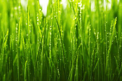 Green wet grass with dew on a blades Royalty Free Stock Image