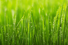 Green wet grass with dew on a blades. Royalty Free Stock Photo