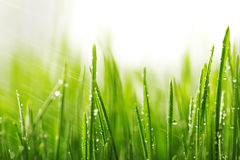 Green wet grass with dew on a blades Stock Photo