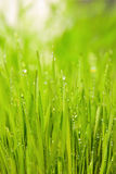 Green wet grass with dew on blades. Shallow DOF Stock Photo