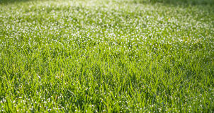 Green wet grass field with dew drops Royalty Free Stock Photography