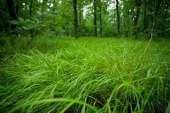 Green wet grass in a forest Royalty Free Stock Images
