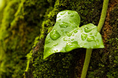 Green wet leaf. Green ivy leaf with water-drops on mossy tree Stock Photo